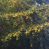 銀杏の季節になってました。の画像