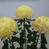 菊の花を頂きました!の画像