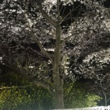 桜の木ライトアップの画像
