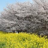 4月1日(土)こまがた桜まつりを開催致します!の画像